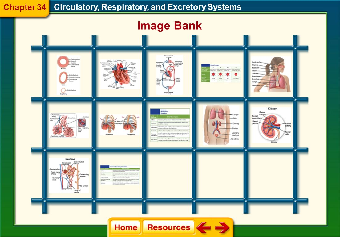 Chapter 34 Circulatory, Respiratory, and Excretory Systems Image Bank