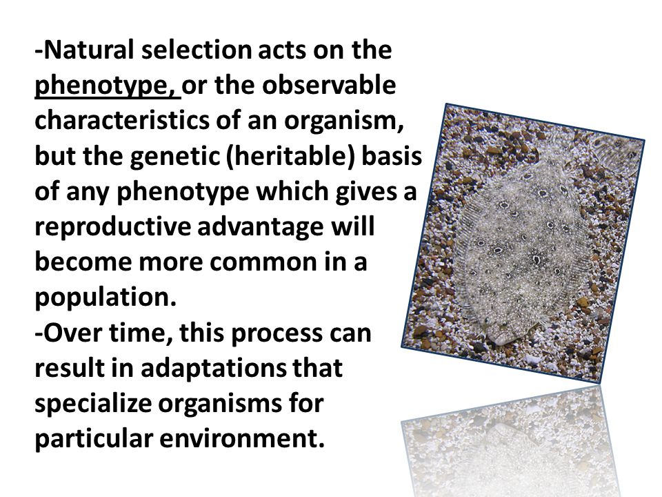 -Natural selection acts on the phenotype, or the observable characteristics of an organism, but the genetic (heritable) basis of any phenotype which gives a reproductive advantage will become more common in a population.