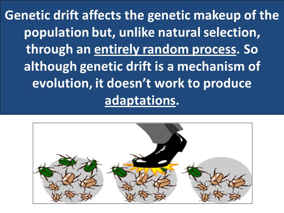 Genetic drift affects the genetic makeup of the population but, unlike natural selection, through an entirely random process.