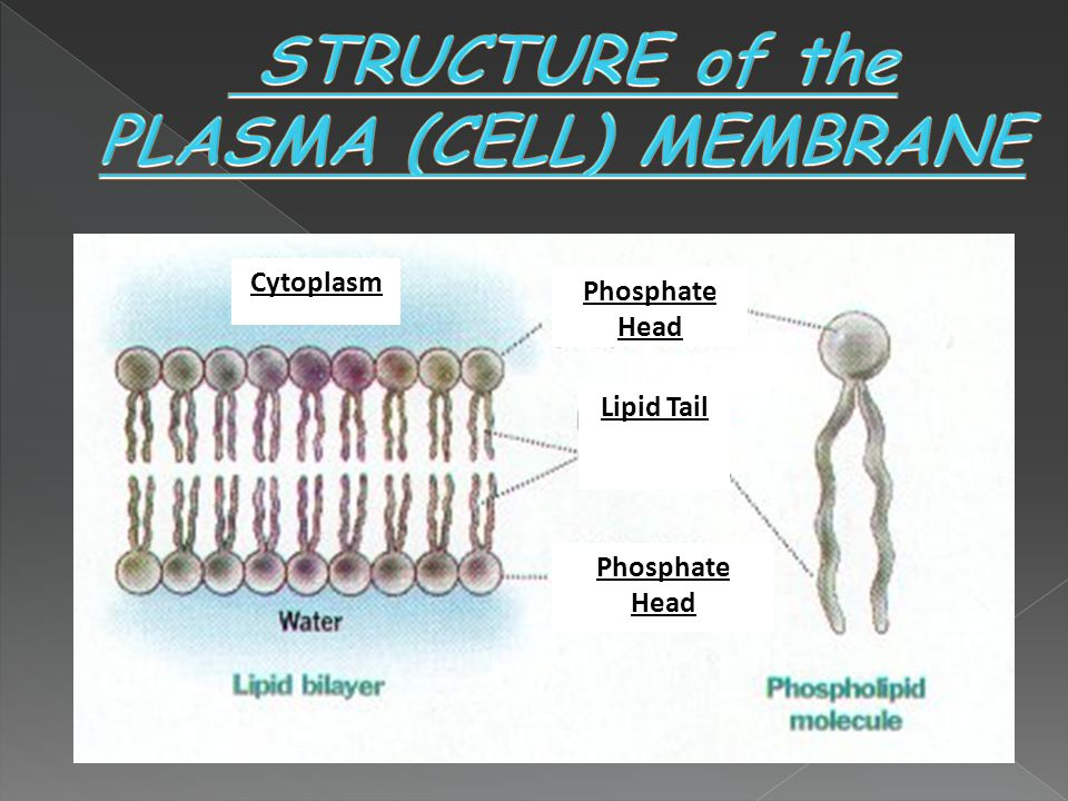 STRUCTURE of the PLASMA (CELL) MEMBRANE