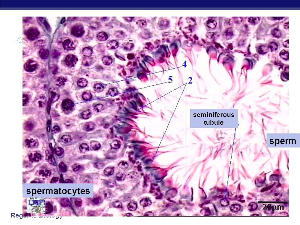 seminiferous tubule sperm spermatocytes