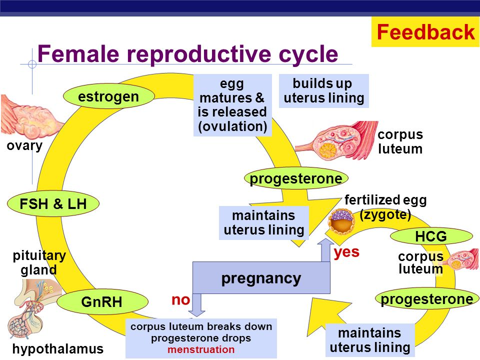 Female reproductive cycle