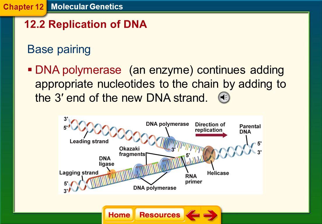 Chapter 12 Molecular Genetics. 12.2 Replication of DNA. Base pairing.