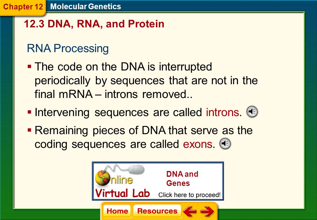 Intervening sequences are called introns.