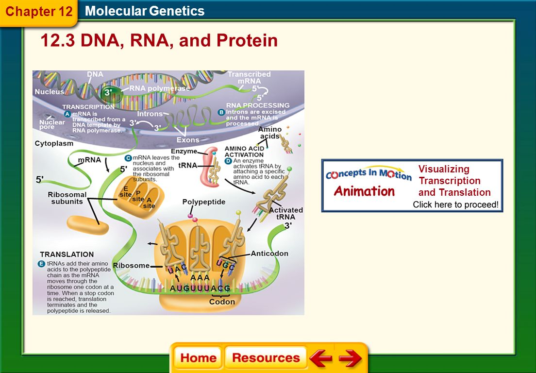 12.3 DNA, RNA, and Protein Chapter 12 Molecular Genetics