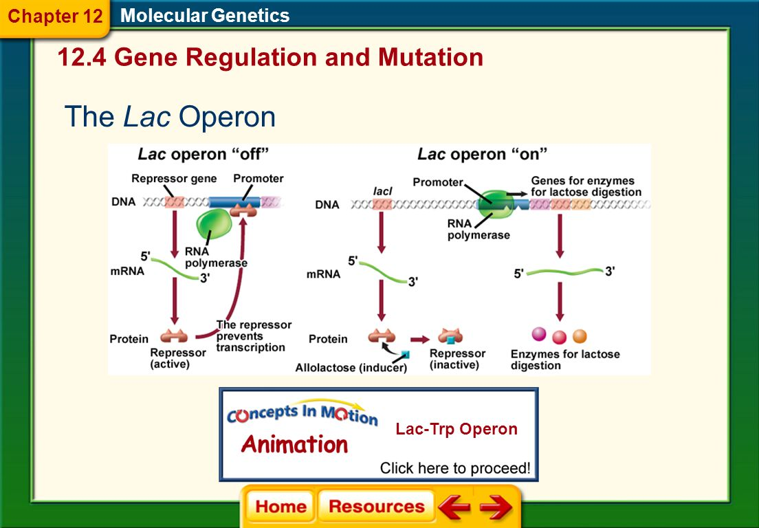 The Lac Operon 12.4 Gene Regulation and Mutation Chapter 12