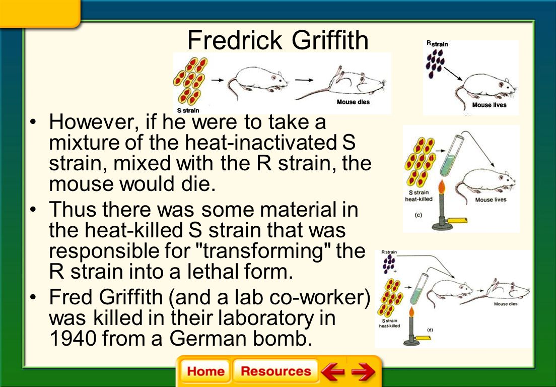 Fredrick Griffith However, if he were to take a mixture of the heat-inactivated S strain, mixed with the R strain, the mouse would die.