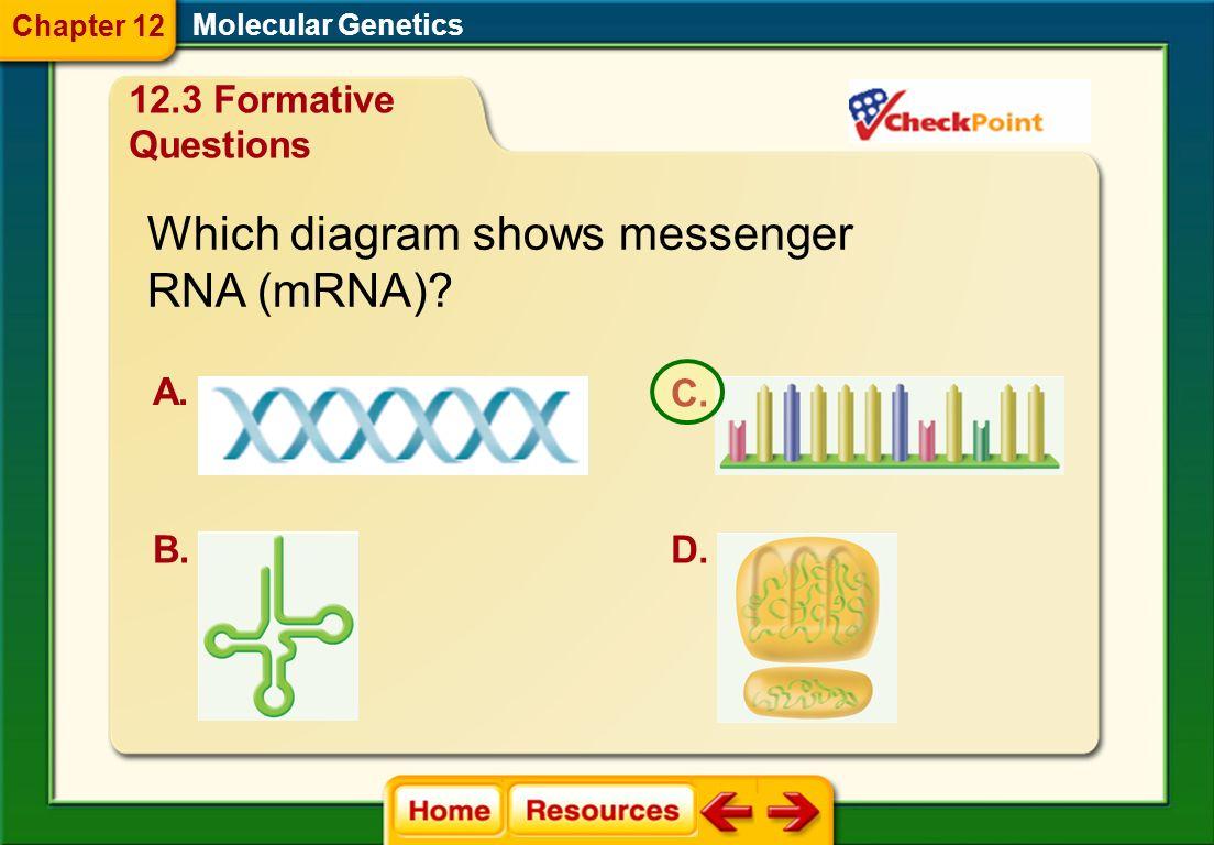 Which diagram shows messenger RNA (mRNA)