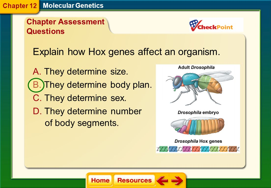 Explain how Hox genes affect an organism.