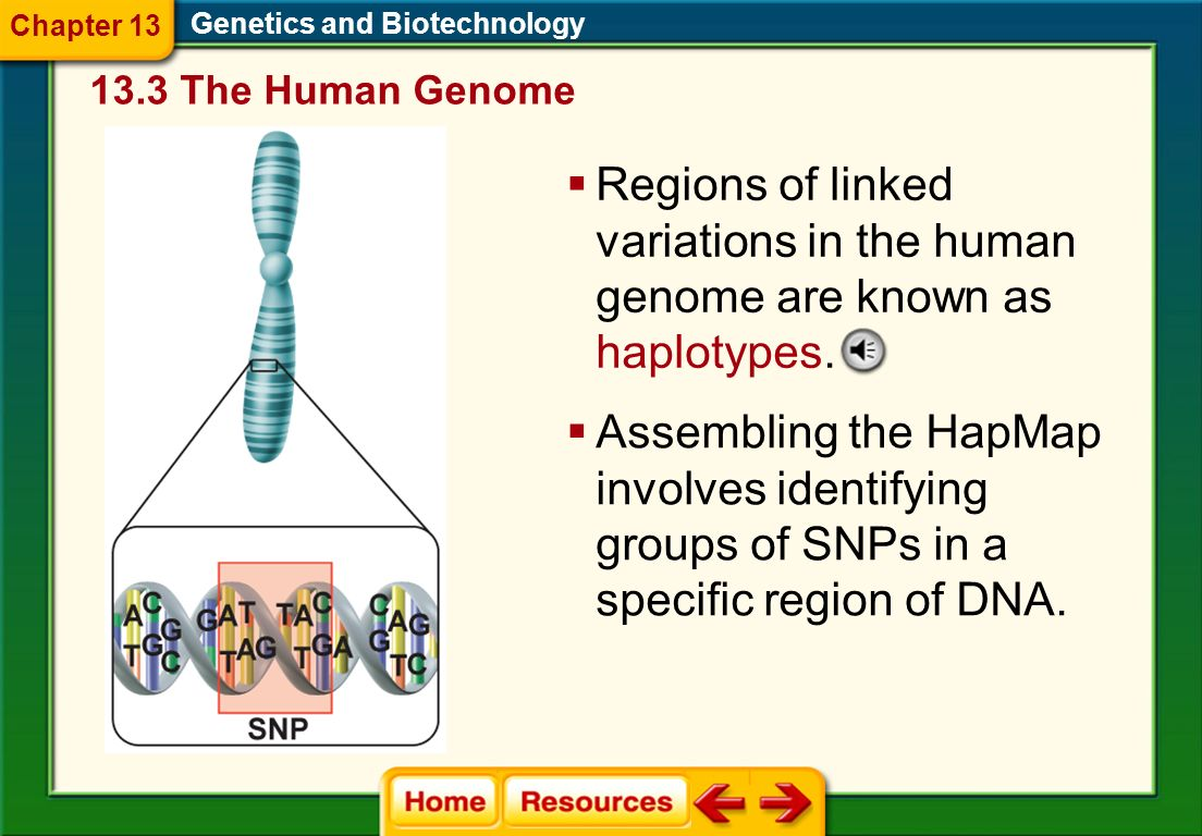 Chapter 13 Genetics and Biotechnology. 13.3 The Human Genome. Regions of linked variations in the human genome are known as haplotypes.