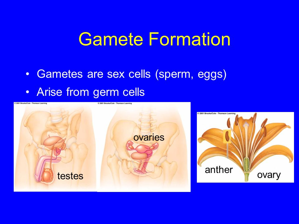 Gamete Formation Gametes are sex cells (sperm, eggs)
