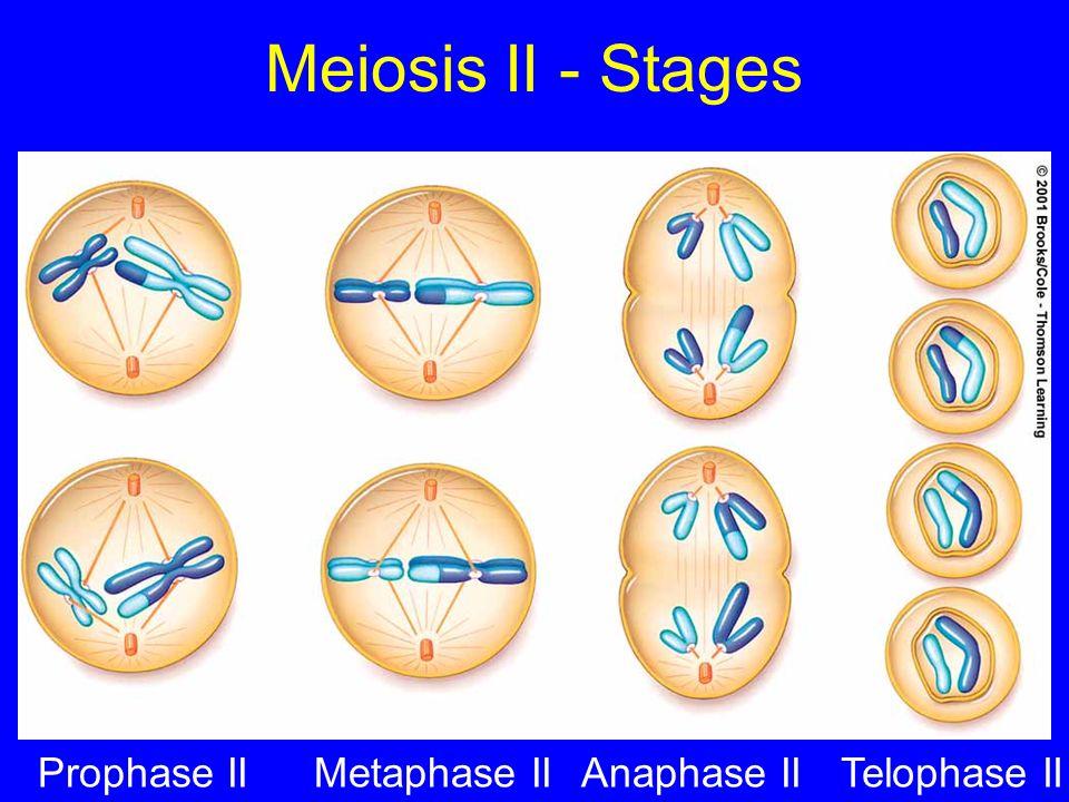 Meiosis II - Stages Prophase II Metaphase II Anaphase II Telophase II