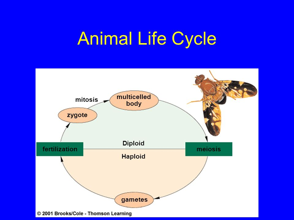 Animal Life Cycle multicelled body mitosis zygote Diploid