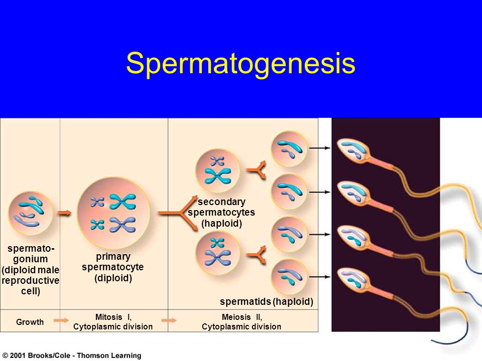 Spermatogenesis secondary spermatocytes (haploid) spermato-