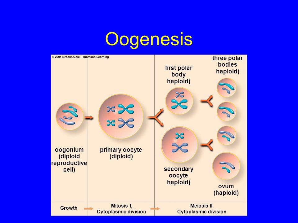 Oogenesis three polar bodies haploid) first polar body haploid)