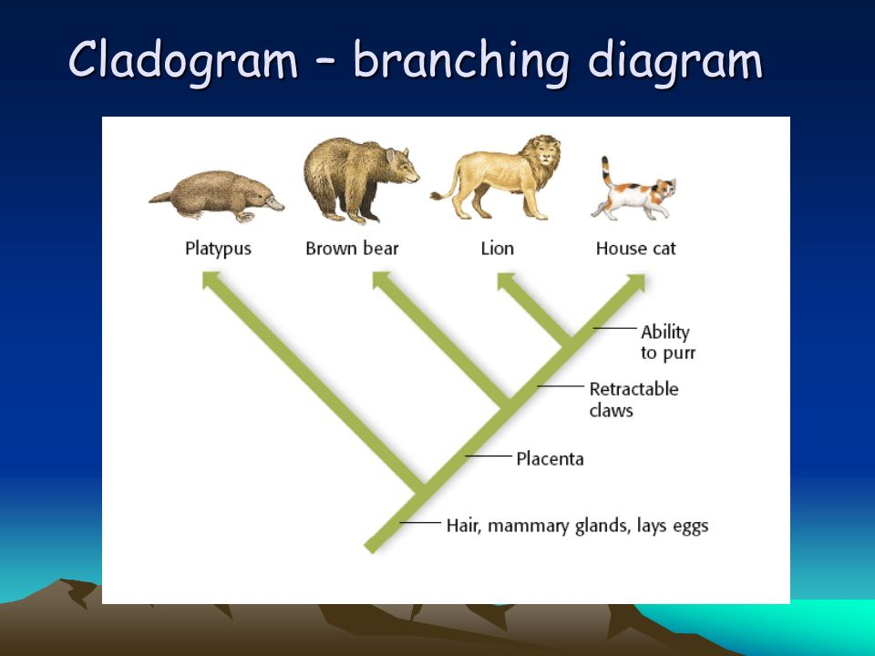 Cladogram – branching diagram
