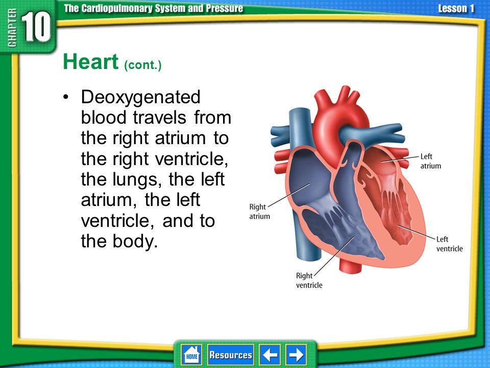 10.1 The Pulmonary-Circulatory System