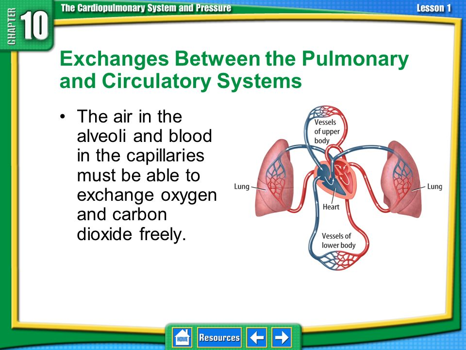 Exchanges Between the Pulmonary and Circulatory Systems