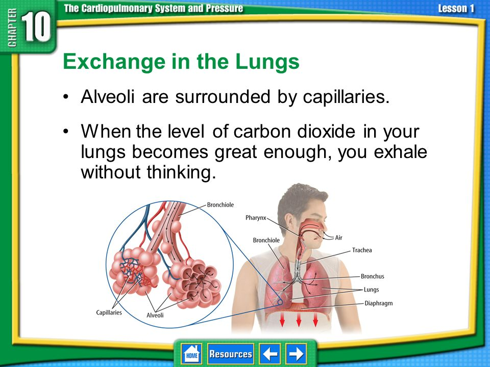 Exchange in the Lungs Alveoli are surrounded by capillaries.