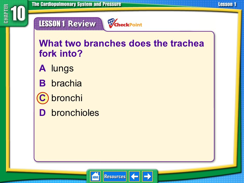 What two branches does the trachea fork into A lungs B brachia