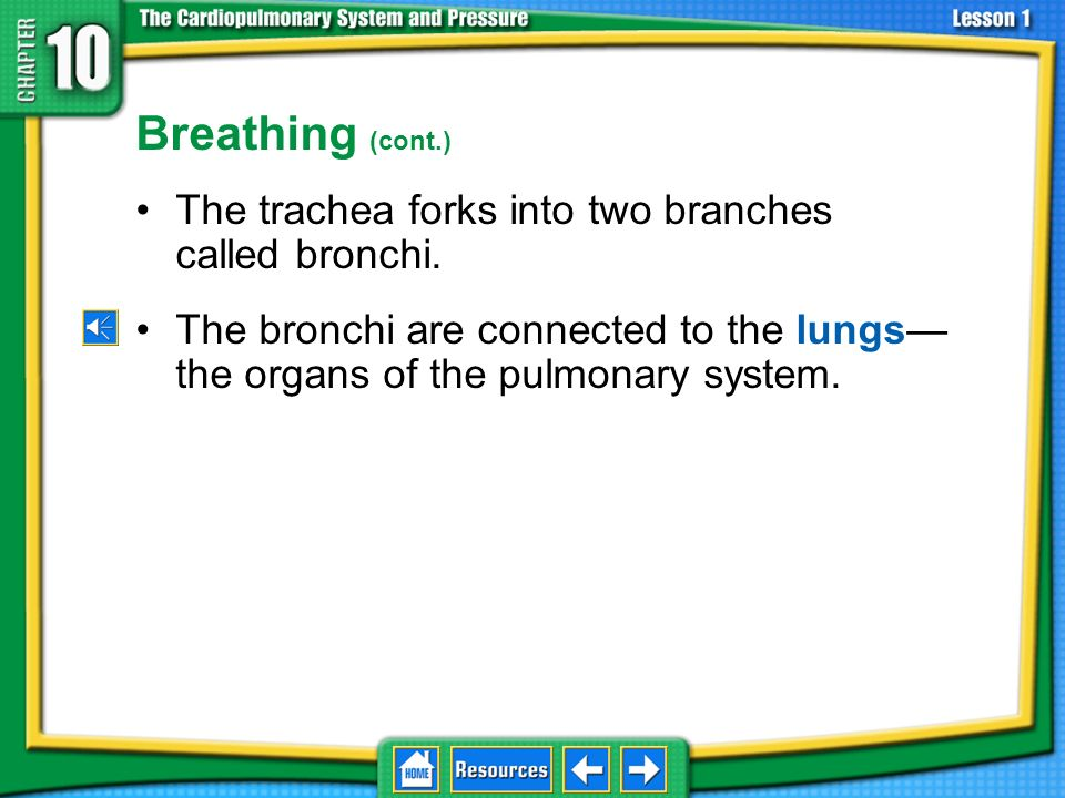 Breathing (cont.) The trachea forks into two branches called bronchi.