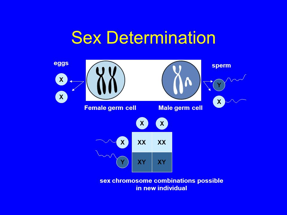 sex chromosome combinations possible in new individual