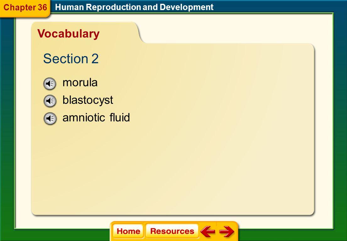 Section 2 Vocabulary morula blastocyst amniotic fluid Chapter 36
