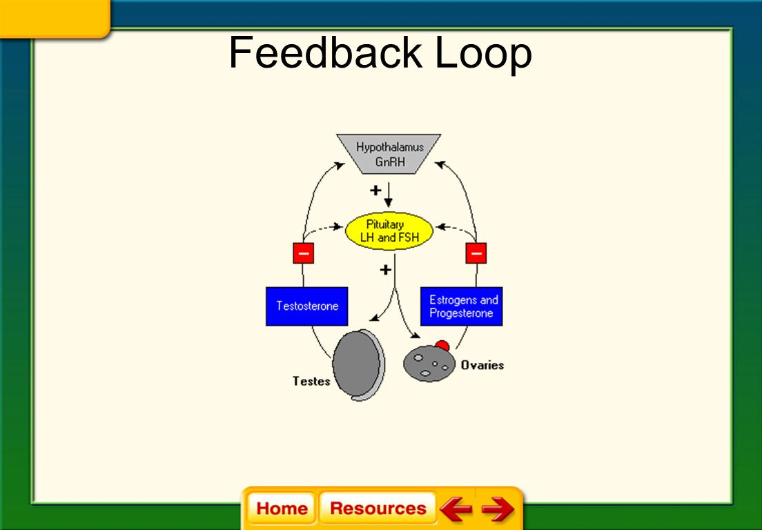 Feedback Loop http://www.vivo.colostate.edu/hbooks/pathphys/endocrine/hypopit/lhfsh.html