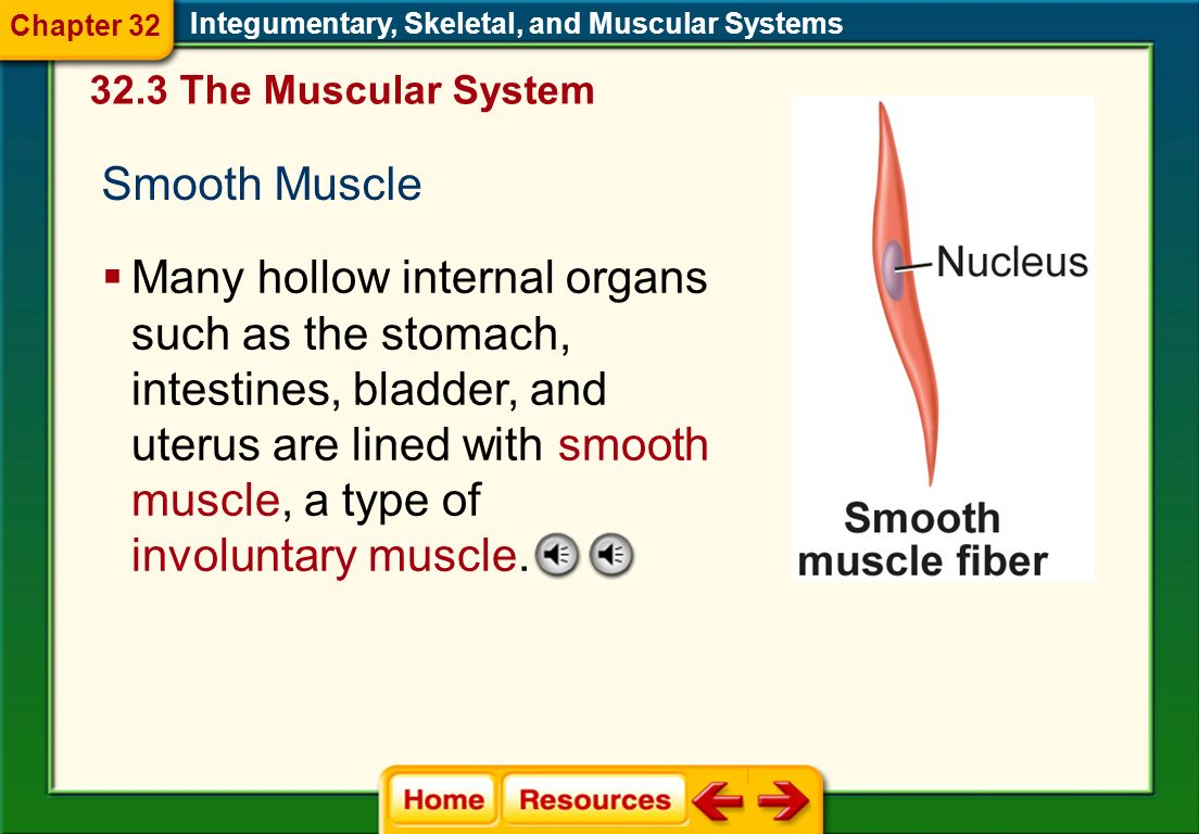Chapter 32 Integumentary, Skeletal, and Muscular Systems. 32.3 The Muscular System. Smooth Muscle.