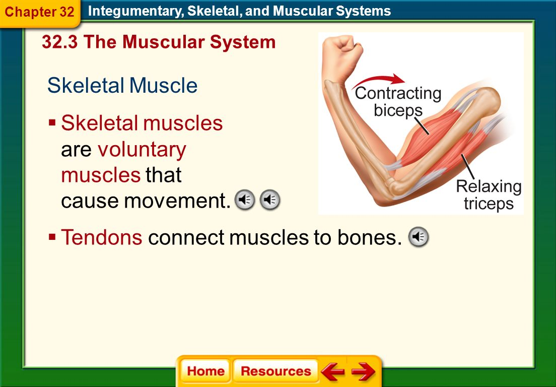 Skeletal muscles are voluntary muscles that cause movement.
