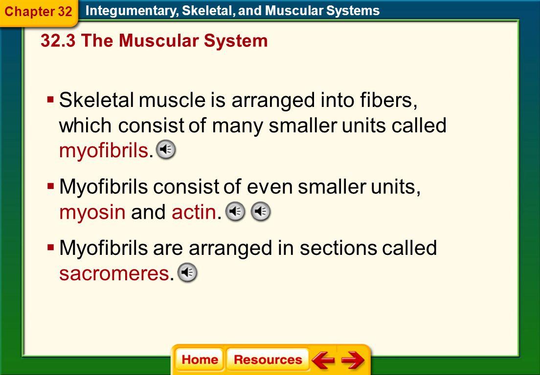 Myofibrils consist of even smaller units, myosin and actin.