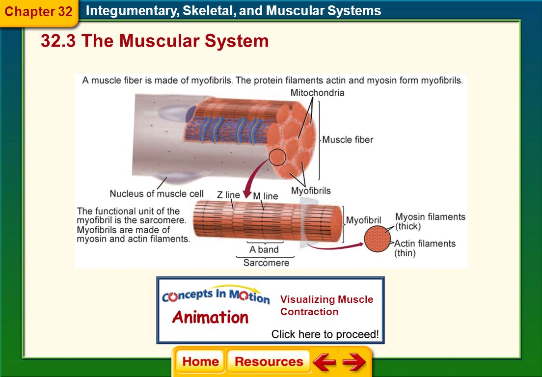 32.3 The Muscular System Chapter 32
