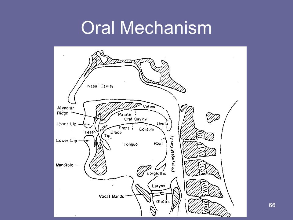 Oral Mechanism