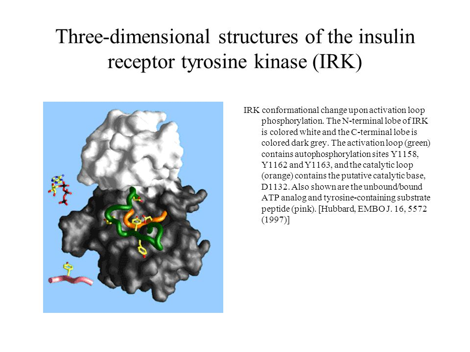 Three-dimensional structures of the insulin receptor tyrosine kinase (IRK)