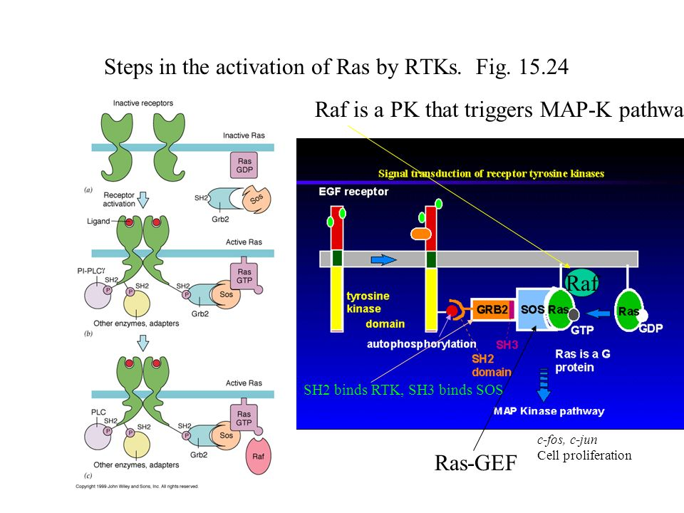 Steps in the activation of Ras by RTKs. Fig. 15.24