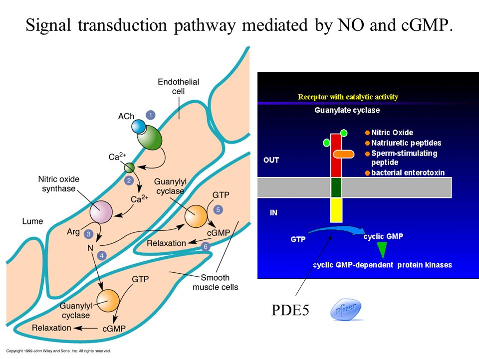Signal transduction pathway mediated by NO and cGMP.