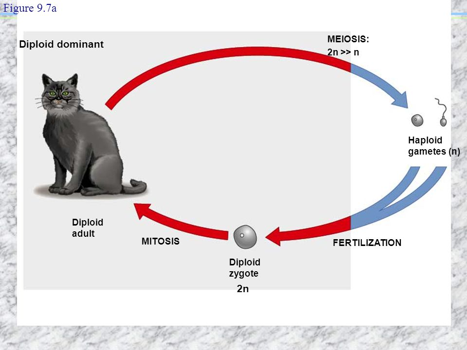 Figure 9.7a Diploid dominant 2n MEIOSIS: 2n >> n