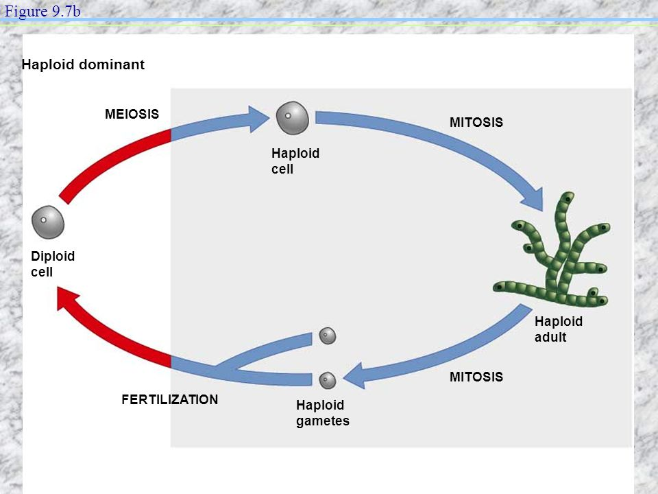 Figure 9.7b Haploid dominant MEIOSIS MITOSIS Haploid cell Diploid cell