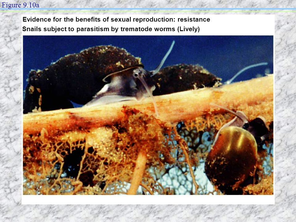 Figure 9.10a Evidence for the benefits of sexual reproduction: resistance. Snails subject to parasitism by trematode worms (Lively)