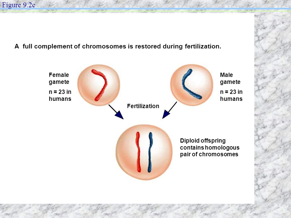 Figure 9.2c A full complement of chromosomes is restored during fertilization. Female gamete. n = 23 in humans.