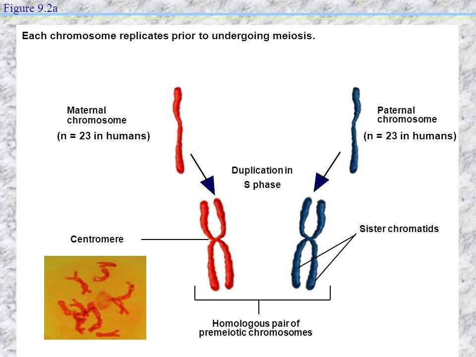 Homologous pair of premeiotic chromosomes