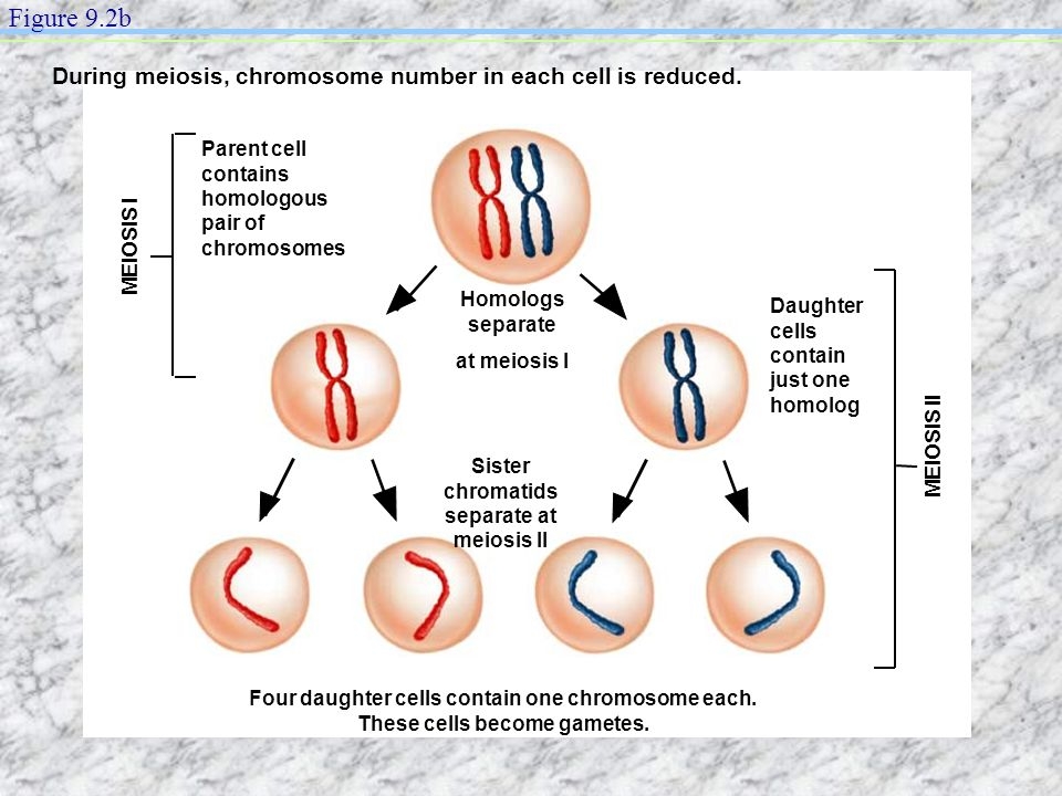 Sister chromatids separate at meiosis II