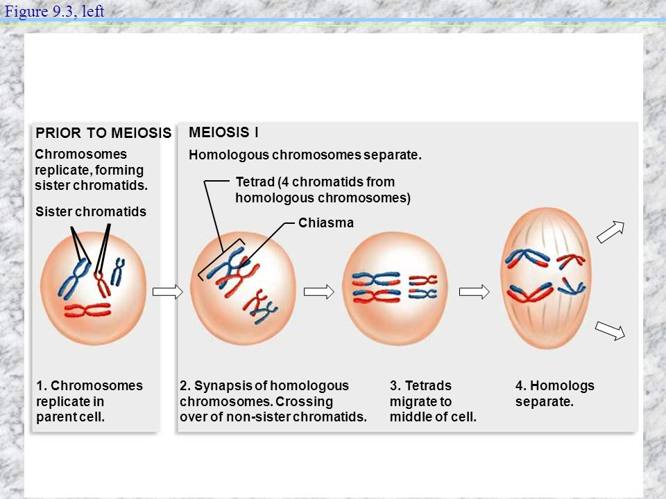 Figure 9.3, left PRIOR TO MEIOSIS MEIOSIS I