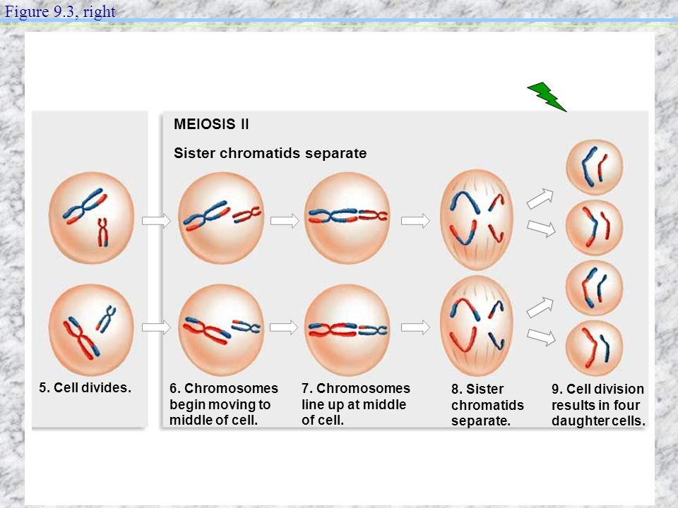 Figure 9.3, right MEIOSIS II Sister chromatids separate