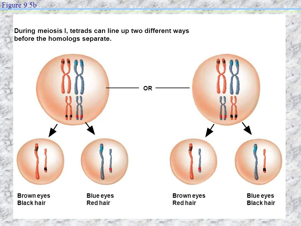 Figure 9.5b During meiosis I, tetrads can line up two different ways before the homologs separate. OR.