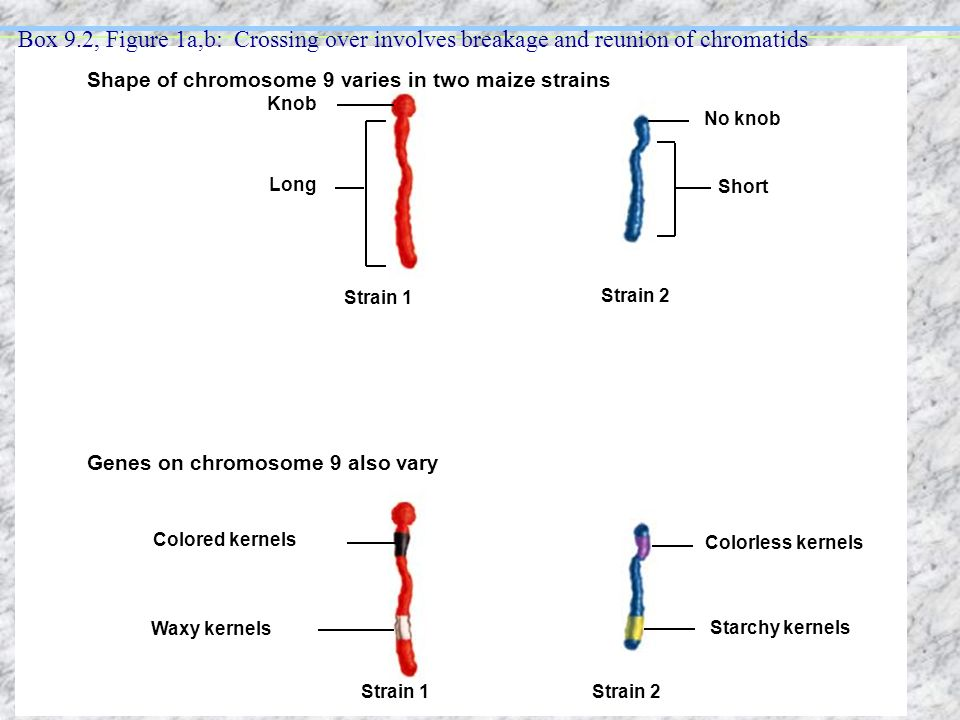 Box 9.2, Figure 1a,b: Crossing over involves breakage and reunion of chromatids