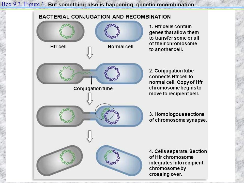 Box 9.3, Figure 1 But something else is happening: genetic recombination. BACTERIAL CONJUGATION AND RECOMBINATION.