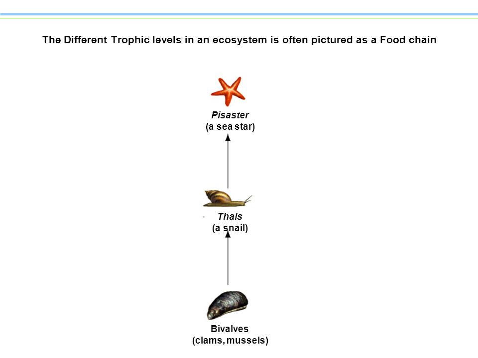 The Different Trophic levels in an ecosystem is often pictured as a Food chain