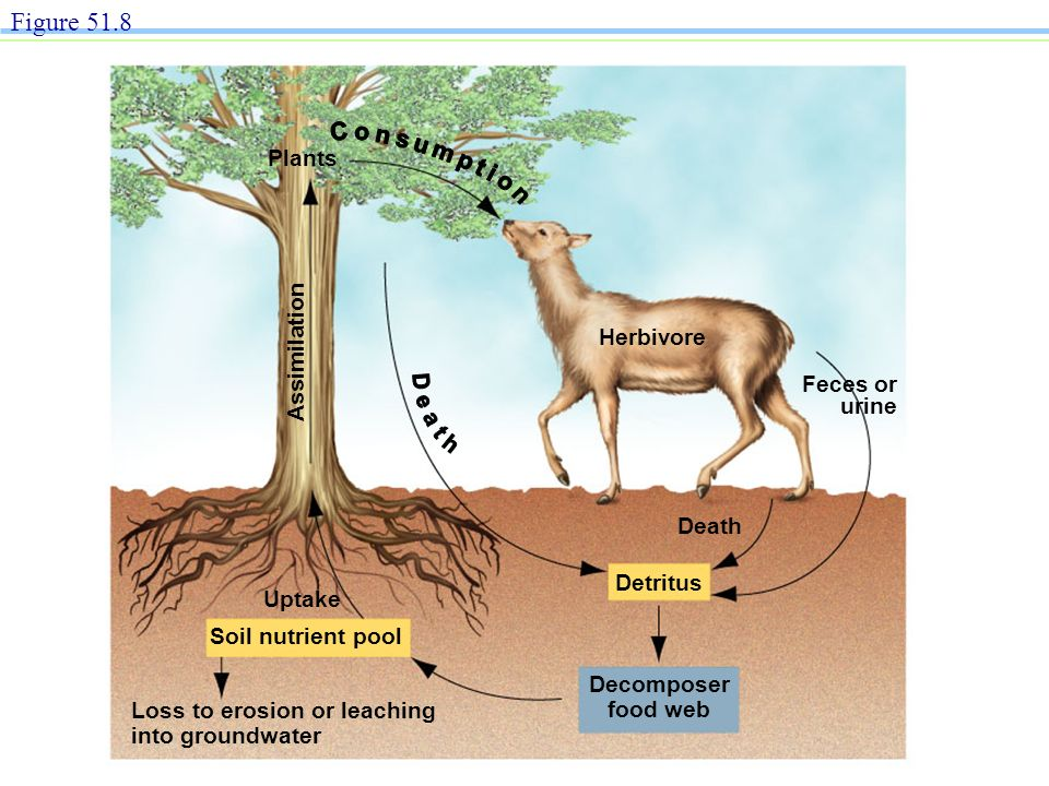 Figure 51.8 Plants Assimilation Herbivore Feces or urine Death