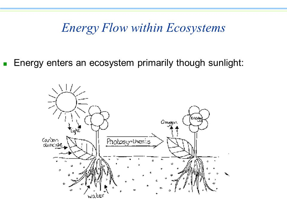 Energy Flow within Ecosystems